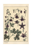 Columbine  Aquilegia Vulgaris  Flower Parts