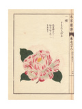 White Camellia with Crimson Dots Karanishiki
