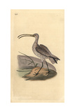 Curlew From Edward Donovan's Natural History of British Birds  London  1817