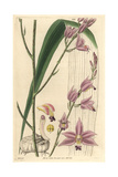 Sharp-petaled Bletia Or Pine Pink Orchid  Bletia Acutipetala Or Bletia Purpurea
