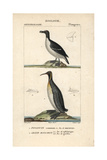 Razorbill And Emperor Penguins From Sainte-Croix's Dictionary of Natural Science: Ornithology