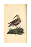 Dunlin From Edward Donovan's Natural History of British Birds  London  1816