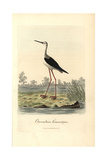 Common Stilt  Himantopus Himantopus
