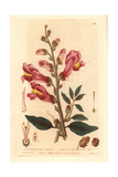 Great Snapdragon  Antirrhinum Majus  From William Baxter's British Phaenogamous Botany  1835