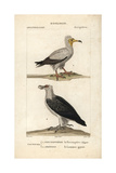 Egyptian And Bearded Vultures From Sainte-Croix's Dictionary of Natural Science: Ornithology