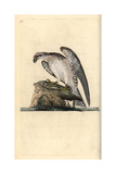 Osprey From Edward Donovan's Natural History of British Birds  London  1799