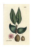 "Almond  Amygdalus Communis  From Pierre Bulliard's ""Flora Parisiensis "" 1776  Paris"