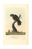 Goatsucker  Nightjar  Caprimulgus Europaeus