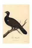 Eurasian Black Grouse  Tetrao Urogallus