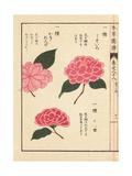Pink Camellias Usuiro