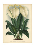 Anthurium Scherzerianum Or Flamingo Flower with Cream-colored Flowers