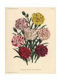 New Varieties of Florist's Carnations - White Blooms Edged with Pink Or Scarlet