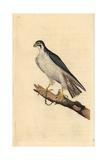 Peregrine Falcon From Edward Donovan's Natural History of British Birds  London  1799