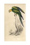 Carolina Parakeet (Carolina Parrot)
