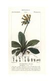 """Cowslip  Primula Veris  From Pierre Bulliard's """"Flora Parisiensis """" 1776  Paris"""