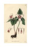 Blood-stained Trillium  Trillium Erythrocarpum