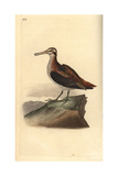 Jack Snipe From Edward Donovan's Natural History of British Birds  London  1817