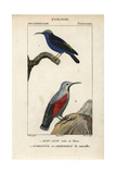 Honeycreeper And Wallcreeper From Sainte-Croix's Dictionary of Natural Science: Ornithology