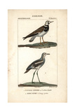 Turnstone And Stone-curlew From Sainte-Croix's Dictionary of Natural Science: Ornithology