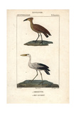 Hammerhead And Openbill Storks From Sainte-Croix's Dictionary of Natural Science: Ornithology