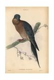 Passenger Pigeon From Jardine's Naturalist's Library: Ornithology  Edinburgh  1835