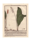 Lily of the Valley  Convallaria Majalis  From William Baxter's British Phaenogamous Botany  1834