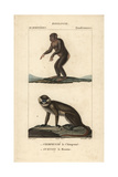 Chimpanzee And Moustached Guenon From Frederic Cuvier's Dictionary of Natural Science: Mammals