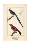 Mousebird And Pine Grosbeak From Sainte-Croix's Dictionary of Natural Science: Ornithology
