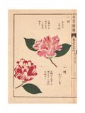 Pink And White Camellias Okinonami And Kagoshima