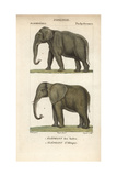 Indian And African Elephant From Frederic Cuvier's Dictionary of Natural Science: Mammals