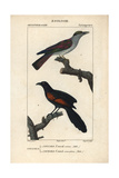 Cuckoo Roller And Sunda Coucal From Sainte-Croix's Dictionary of Natural Science: Ornithology