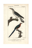 Channel-billed Cuckoo And Malkoha From Sainte-Croix's Dictionary of Natural Science: Ornithology