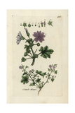 "Common Mallow  Malva Sylvestris  From Pierre Bulliard's ""Flora Parisiensis "" 1776  Paris"