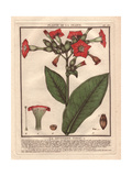 Common Tobacco  Nicotiana Tabacum
