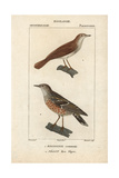 Nightingale And Accentor From Sainte-Croix's Dictionary of Natural Science: Ornithology