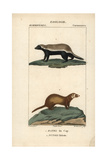 Honey Badger And Least Weasel From Frederic Cuvier's Dictionary of Natural Science: Mammals