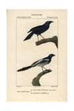 Violaceous Crow And Magpie Tanager From Sainte-Croix's Dictionary of Natural Science: Ornithology