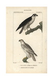 Peregrine Falcon And Gyrfalcon From Sainte-Croix's Dictionary of Natural Science: Ornithology
