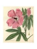 Splendid Hibiscus  Hibiscus Splendens