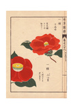 Scarlet And Yellow Japanese Camellias Senjyu And Kamitsuma