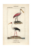 African Spoonbill And Stork From Sainte-Croix's Dictionary of Natural Science: Ornithology