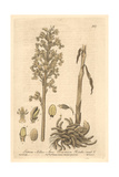 Bird's Nest  Listera Nidus-avis  From William Baxter's British Phaenogamous Botany  Oxford  1839