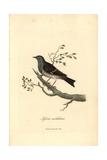 Hedge Warbler Or Dunnock  Prunella Modularis