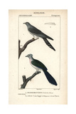 Cuckoo And Crested Coua From Sainte-Croix's Dictionary of Natural Science: Ornithology