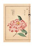 Crimson-flecked White Camellia Kara Nishiki