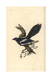 Magpie From Edward Donovan's Natural History of British Birds  London  1799