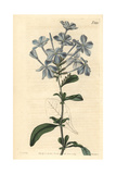 Phlox-like Leadwort  Plumbago Capensis