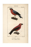 Bullfinch And Crossbill From Sainte-Croix's Dictionary of Natural Science: Ornithology