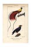 Red Paradise Bird And Myna Bird From Sainte-Croix's Dictionary of Natural Science: Ornithology