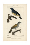 Turquoise And Palm Tanagers From Sainte-Croix's Dictionary of Natural Science: Ornithology